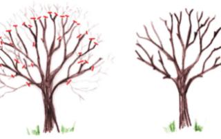 taille cerisier, comment tailler un cerisier, quand tailler un cerisier - SAINT GERMAIN PAYSAGE