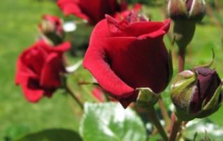 quand et comment tailler un rosier ? Conseils Paysagiste 77