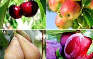 quand et comment tailler les arbres fruitiers - Saint Germain Paysage 77 entreprise paysagiste